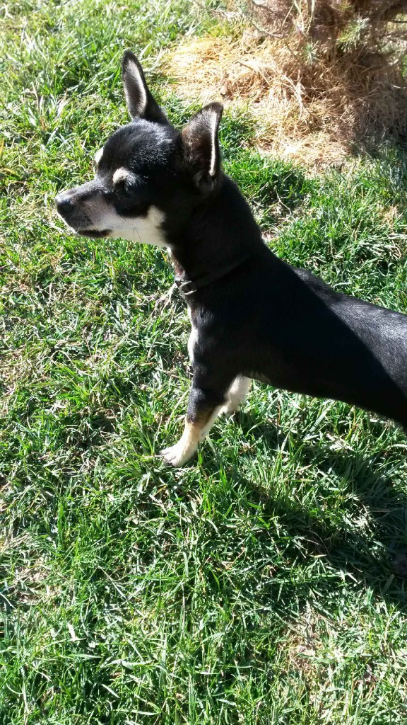 Small male Chihuahua found 1/31 in the Commons of Natomas Park.  Wearing collar with no tags.  Contact: Ana at (916) 524-5297.