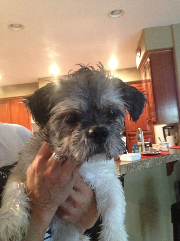 This male pup was seen 9/21/2013 running north on East Commerce and picked up at East Commerce and Greg Thatch. Contact Erik at (916)716-8883.