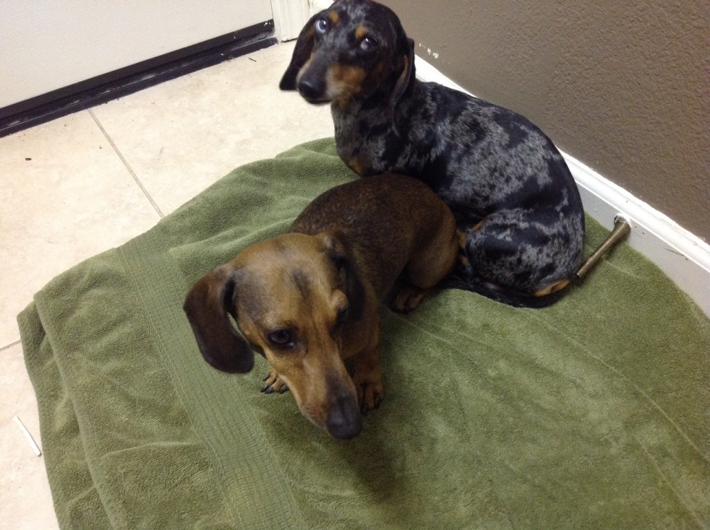 Two found dachshund mix dogs near Regency Park Elementary School. Contact Linsey at (805) 423-1546.