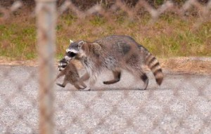 Robyn Dahlgren Cappelluti photographed this wild raccoon and its baby shared in July near Garden Highway and Orchard Lane. / NatomasBuzz.com