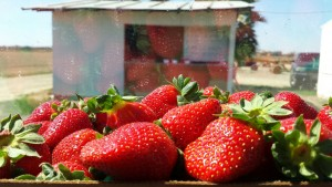 Seen in Natomas: Strawberry Stand Now Open