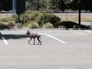 Residents Report Coyote Sightings in Natomas
