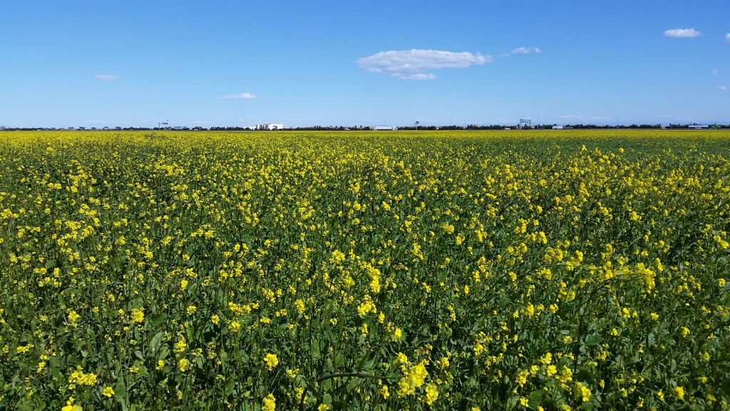 Wild mustard. / Photo by John Bartle