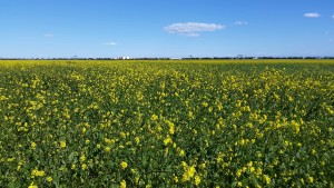 Eye on Natomas: Mustard Fields Forever