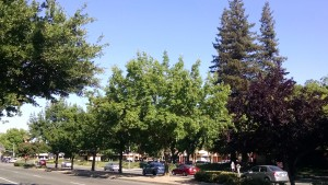 Opinion: Cut These Trees Down in Natomas?