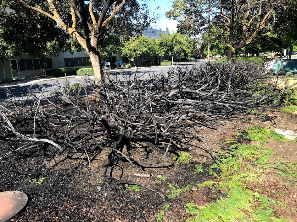 Image of large, burned bush. The branches no longer have leaves.