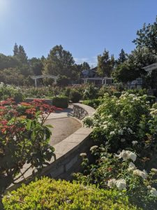 Image of rose garden with several bushes in bloom.