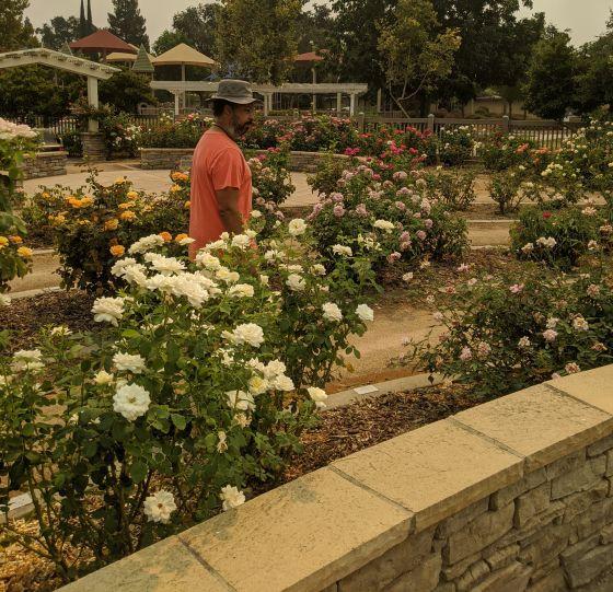 Image of man walking between rose bushes.