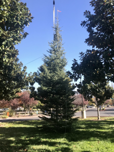 Image of unadorned 30 foot evergreen tree.